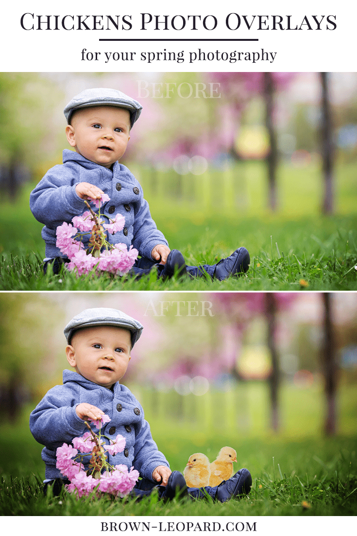 12 different chickens photo overlays. Great for Easter photography - spring mini sessions, kids, family & portrait pictures. Drag & drop - very easy to use, fast and simple. Original results just in few minutes. Professional spring photo overlays for Photoshop, Zoner, Gimp, PicMoneky, Canva, etc. Photo overlays for creative photographers from Brown Leopard.